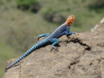 Nature Travel:Africa photography safaris, Agama Lizard Kenya Safaris