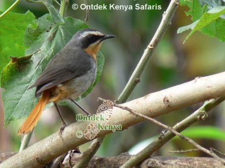 Kenya-birds-species: Cape Robin-chat