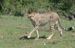 Kenya Wildlife Safaris Animals:Cheetah Solio, Kenya.