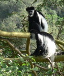Africa in Safari Black and White Colobus Monkeys at the Crater Lake game sanctuary, Kenya.