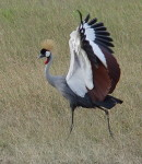 Kenya Birding and Birdwatching Holidays:Grey Crowned Crane in Masai Mara, Kenya.
