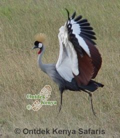 Africa Birds species identification Grey-crowned Crane, Kenya