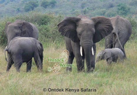 Senior adventures,Amboseli, Kenya, African animals elephants