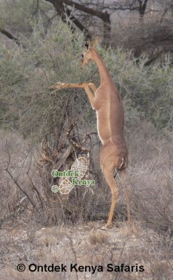 Africa wildlife tours in the Swara Plains - a gerenuk