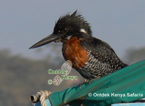 wild bird identification, Giant Kingfisher, Kenya