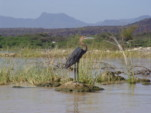 Africa Birding and Bird Watching in Kenya Goliath Heron at Lake Baringo