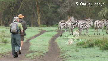 Guided walking with zebras in the Crater Lake game sanctuary