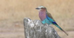 Africa Easy birdwatching holidays: Lilac-breasted Roller, Kenya bird species