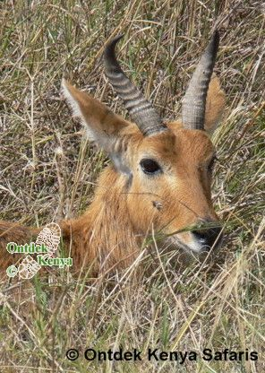 Bohor Reedbuck in Masai mara, animal pictures, nature photography