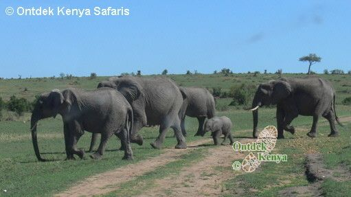 Kenya Adventure Travel Pictures of animals, African elephants