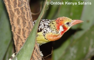 Kenya Birds names and pictures: Red and Yellow Barbet