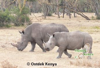 African Safaris and Tours in Kenya. Rhinos in the Solio game sanctuary
