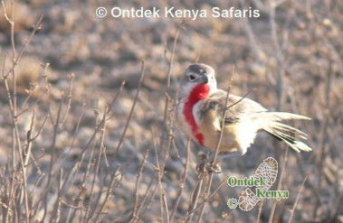 Safari travel in Tsavo - the Rosy-patched Bush Shrike