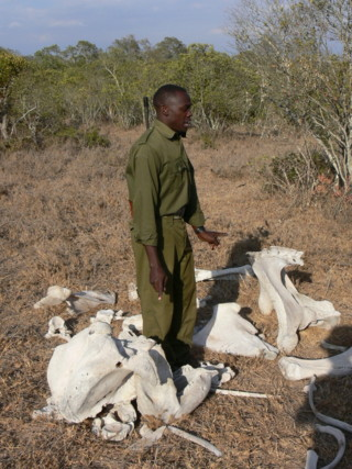 Professional safari guide showing elephant bones