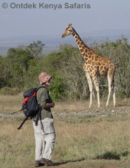 Kenya Travel Safari: walking with giraffe at the Aberdare Country Club.