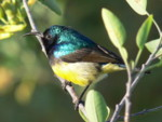 Africa Birding Holidays in Kenya:Variable Sunbird
