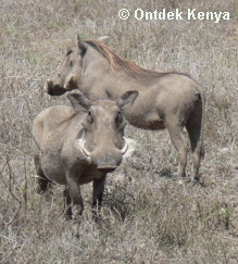 Adventure Travel Africa, Animal photo safaris, Warthogs at Swara Plains