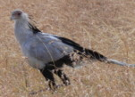 Africa birds photography tour, Secretary Bird, Kenya