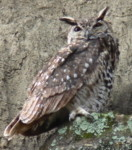 Which bird is this? Spotted Eagle-owl, birds species identification pictures, Kenya birdwatching vacations, Africa