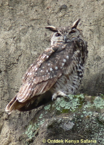 Which bird is this? Spotted Eagle-owl, birds species identification pictures, Kenya, Africa