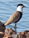 Pictures of Birds, Spur-winged Plover, Birds photo safari in Kenya