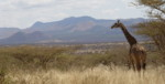 Africa Wildlife Safaris Animals:Giraffe in Tsavo West National Reserve Park.