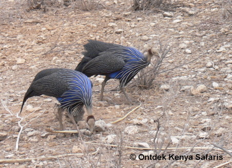 color bird picture of the Vulturine Guineafowl