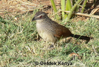 White-browed Coucal,How to identify Kenya birds by pictures taken a Kenya bird watching tour operator