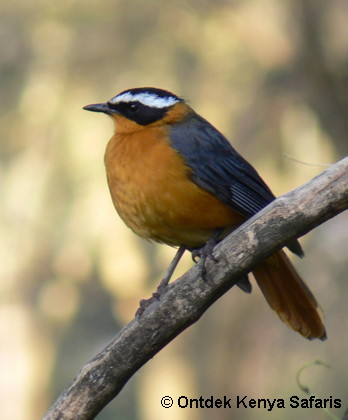 Pictures of birds White-browed Robin-chat