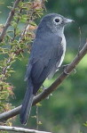 Kenya bird and birdwatching. Common birds in Kenya, Africa, White-eyed Slaty Flycatcher, Bird Picture