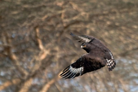 Trip travel report - Long-crested Eagle