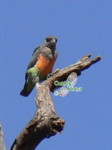 african birds species identification by color pictures african orange bellied parrot
