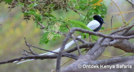 African Birds species photo gallery, Paradise Flycatcher, picture, Kenya bird watching holiday