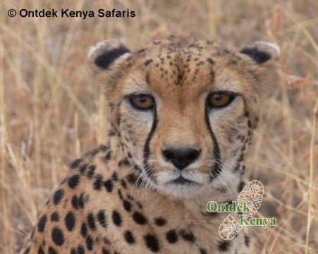 Women only vacations - cheetah in Maasai Mara