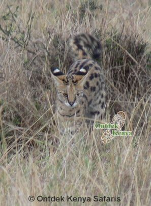 African safari animals serval cat, kenya