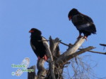 what is the name of this bird? bateleur eagle vulture