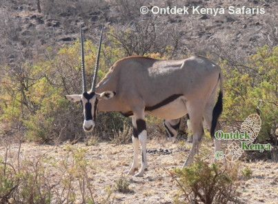 Kenya Travel Safaris Swara - the Beisa Oryx