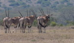 Kenya Wildlife Safaris Animals Pictures:Beisa Oryx , Solio Ranch Kenya