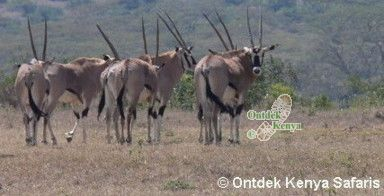 Kenya wildlife safari reviews Solio Ranch - Beisa Oryx