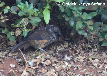 Bird Pictures: the Hinde's Babbler