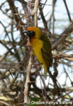 Birds names for identification, Kenya birds species - Speke's Weaver