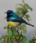 Color pictures of birds, Male Variable Sunbird