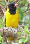 Wild birds Identification, Black-headed Oriole, bird watching tour operator Kenya