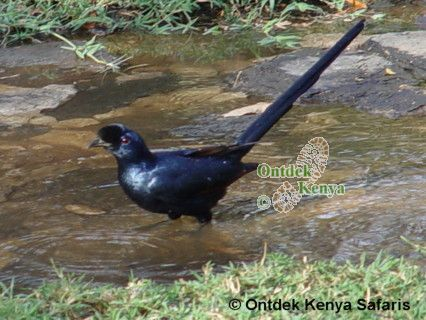 Wild birds species identification, Bristle-crowned Starling, Africa, easy bird watching holidays