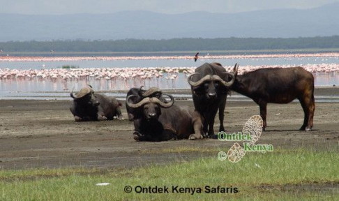 buffalos buffaloes lake nakuru flamingos flamingoes