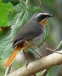 Kenya Common Birds Species Pictures: Cape Robin-Chat