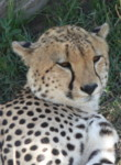 Pictures of safari animals:Cheetah,Masai Mara, Kenya