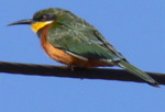Africa bird photography safaris. Picture of Cinnamon-chested Bee-eater Kenya