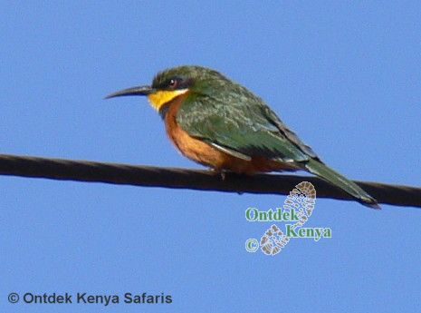Africa common birds species, names and color pictures, Cinnamon-chested Bee-eater