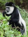 African safari animals. Black and White Colobus Monkey